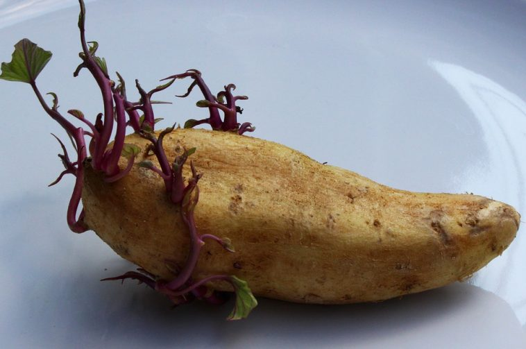 Simple Way To Stop Potatoes From Sprouting